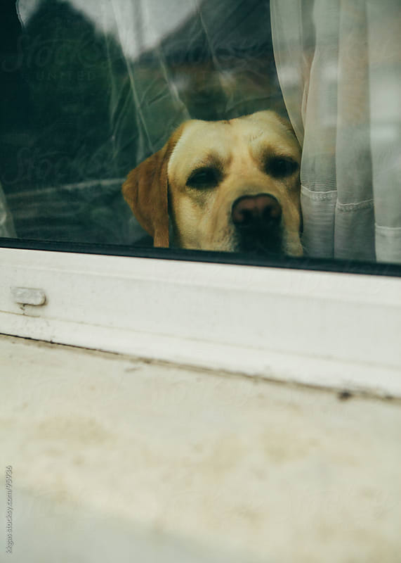 Labrador dog looking out of window by kkgas for Stocksy United