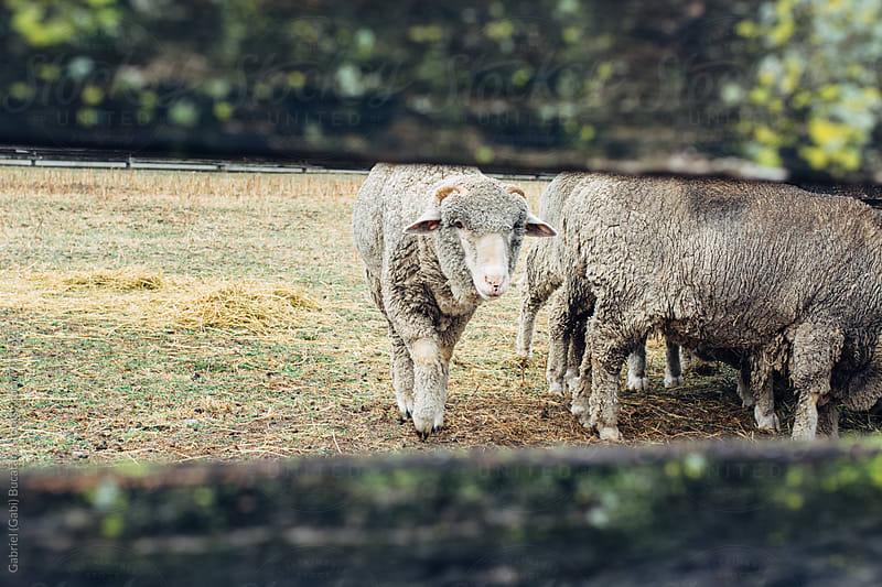 Sheep behind a fence by Gabriel (Gabi) Bucataru for Stocksy United
