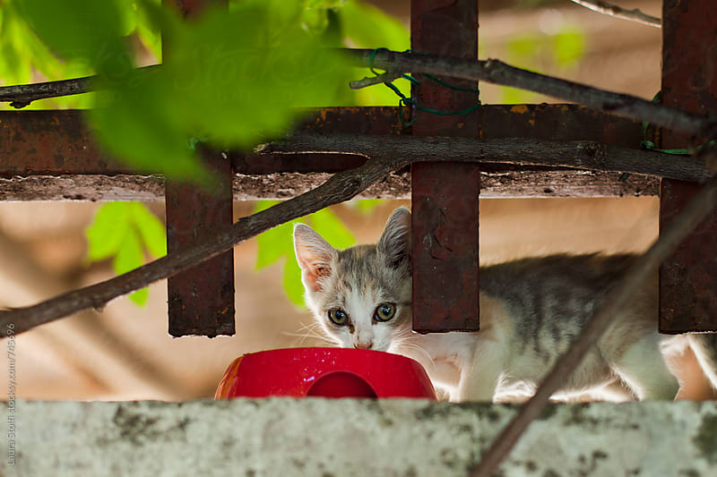Stray kitten fed on top of garden wall looks straight at camera by Laura Stolfi for Stocksy United