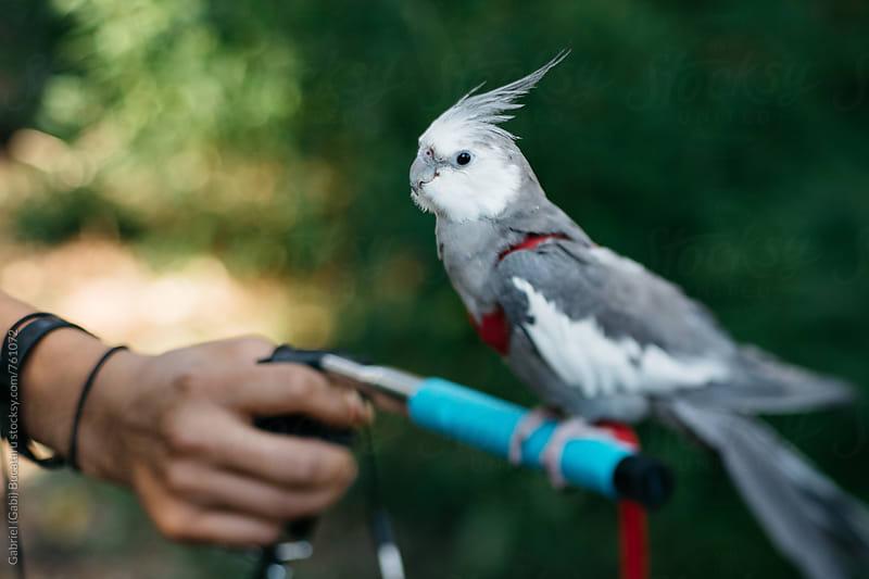 Cockatoo on a leash by Gabriel (Gabi) Bucataru for Stocksy United