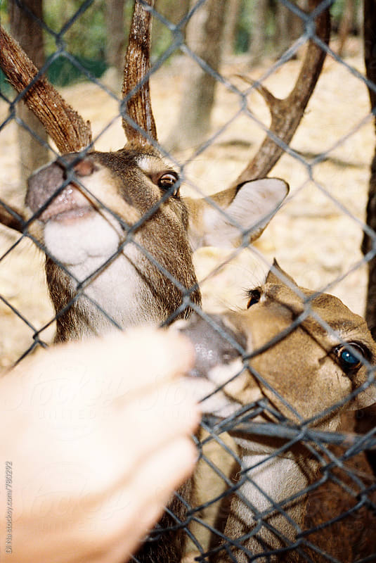 Feeding deers in the zoo by Dina Lun for Stocksy United