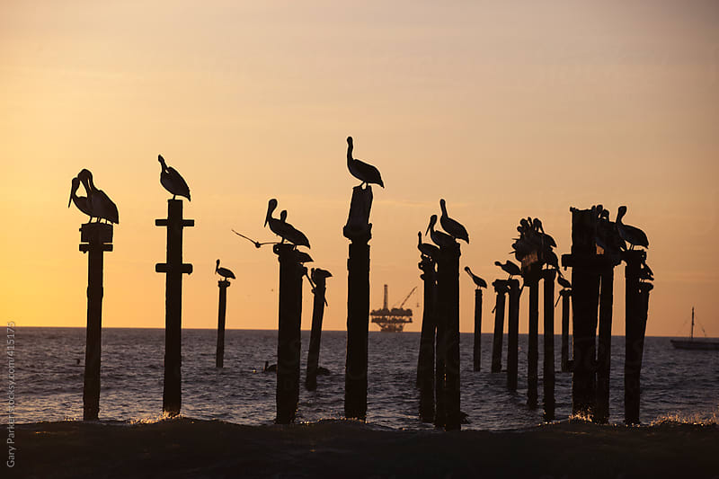 Pelicans sit on an abandoned pier as the sun sets by Gary Parker for Stocksy United