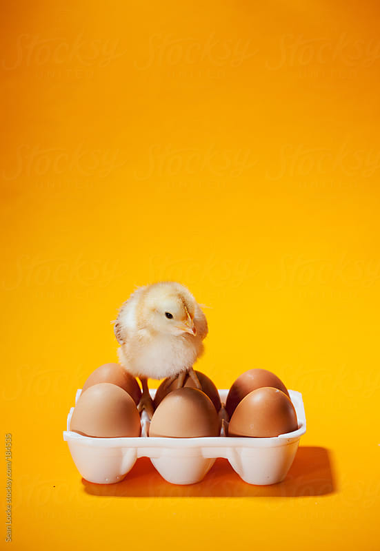 Chicks: Fuzzy Chick Sits On Top Of Eggs In Carton by Sean Locke for Stocksy United