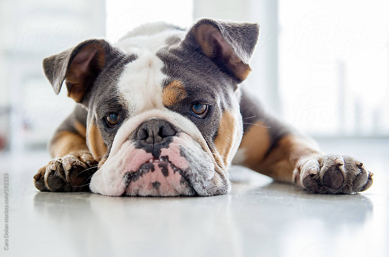 Sad English bulldog rests her head on the floor by Cara Dolan for Stocksy United