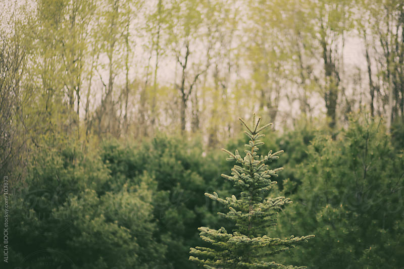 Stand of Pines by ALICIA BOCK for Stocksy United