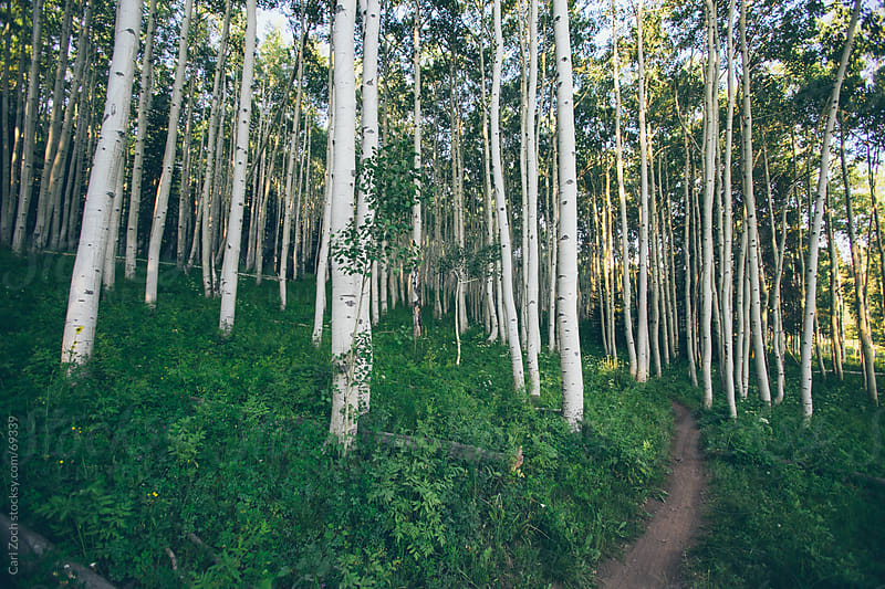 Colorado Aspens by Carl Zoch for Stocksy United