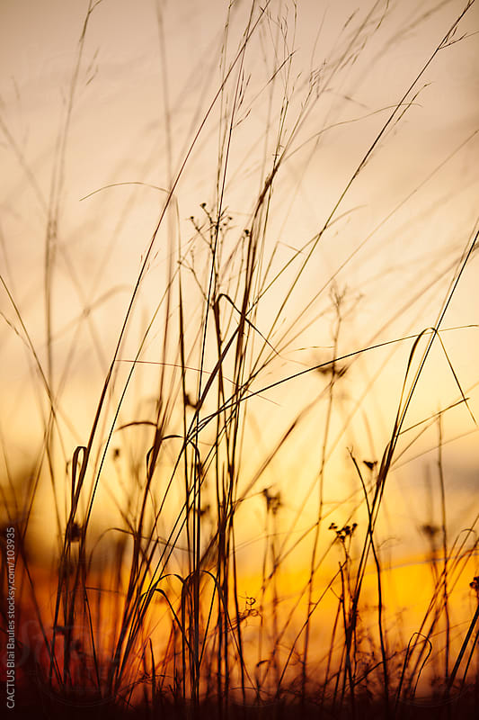 Detail of wild grass at sunset by CACTUS Blai Baules for Stocksy United