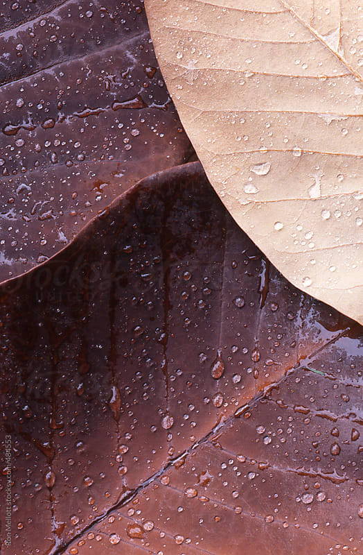 Closeup microphotograph macro of raindrops on magnolia leaves by Ron Mellott for Stocksy United