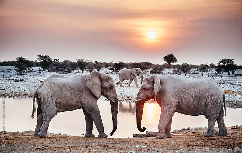 Two African elephants at a watering hole by Micky Wiswedel for Stocksy United