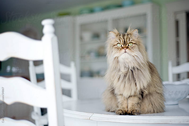 Persian cat sits atop table  by Cara Slifka for Stocksy United