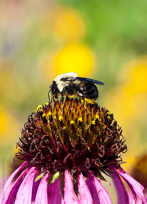 Pollen Covered Bumblebee on a Coneflower by Brandon Alms for Stocksy United
