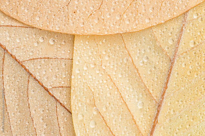 Wet Magnolia leaf trio, closeup by Mark Windom for Stocksy United