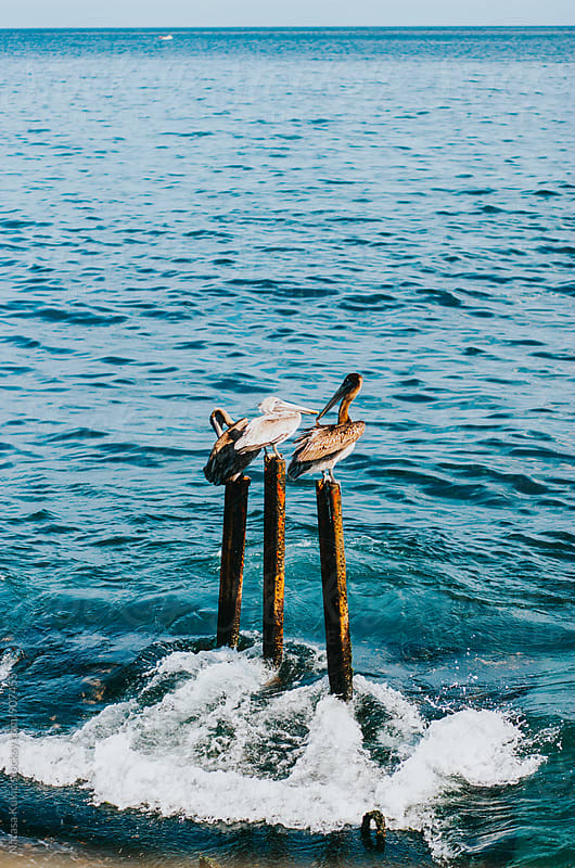 Couple of pelicans in the ocean by Natasa Kukic for Stocksy United
