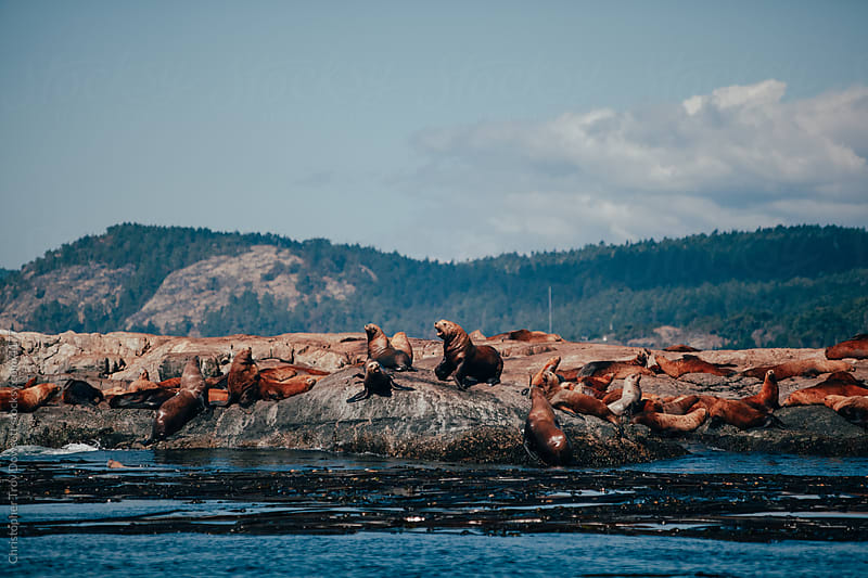 Sea lions basking in the sun by Christopher Troy Dowsett for Stocksy United