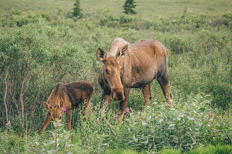 Denali Moose Family by Jake Elko for Stocksy United