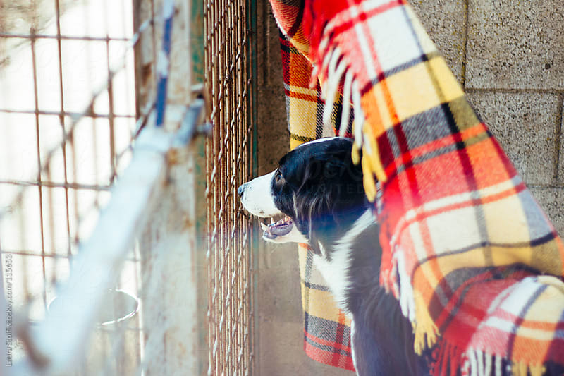 Black and white sheep dog plays under a blanket in front of fence in dog pound in sunny day by Laura Stolfi for Stocksy United