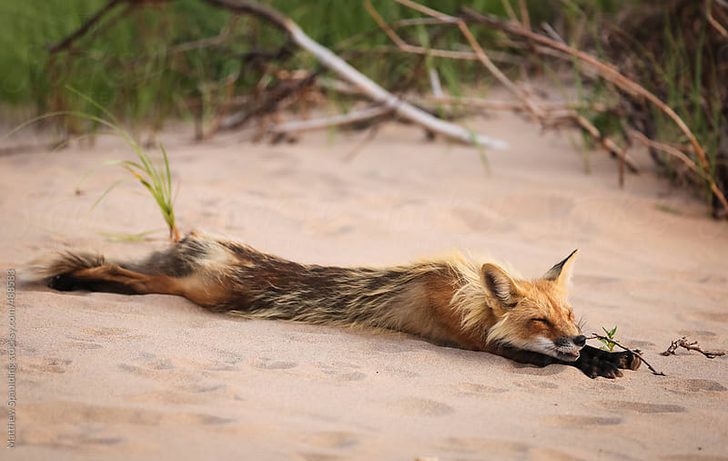 Wild fox stretching and sleeping in natural animal environment outdoors by Matthew Spaulding for Stocksy United