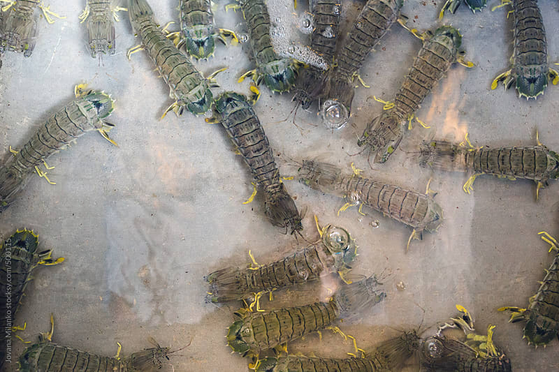 Live mantis shrimp inside the water tank of a restaurant by Jovana Milanko for Stocksy United