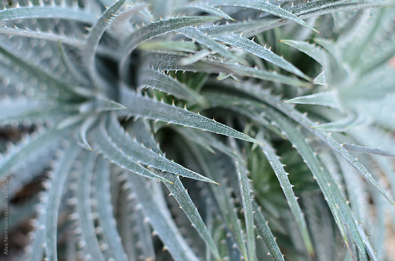 Green succulent spiky leaves closeup  by Alice Nerr for Stocksy United