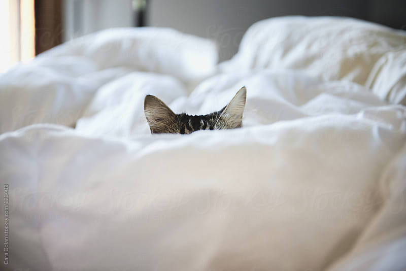 Ears of a cat stick up from it's napping spot on the bed by Cara Dolan for Stocksy United