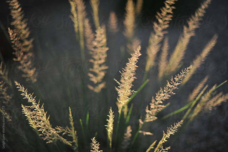 Illuminated Grass Plumes by Leigh Love for Stocksy United