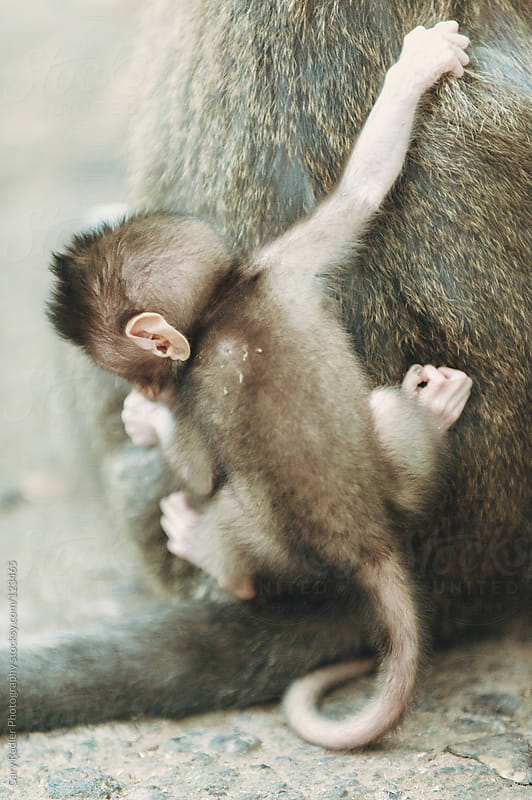 Baby Long-tailed Macaque on Mother's Back by Gary Radler Photography for Stocksy United