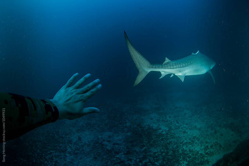 A diver stretch out hand to a tiger shark without dorsal fin by Song Heming for Stocksy United