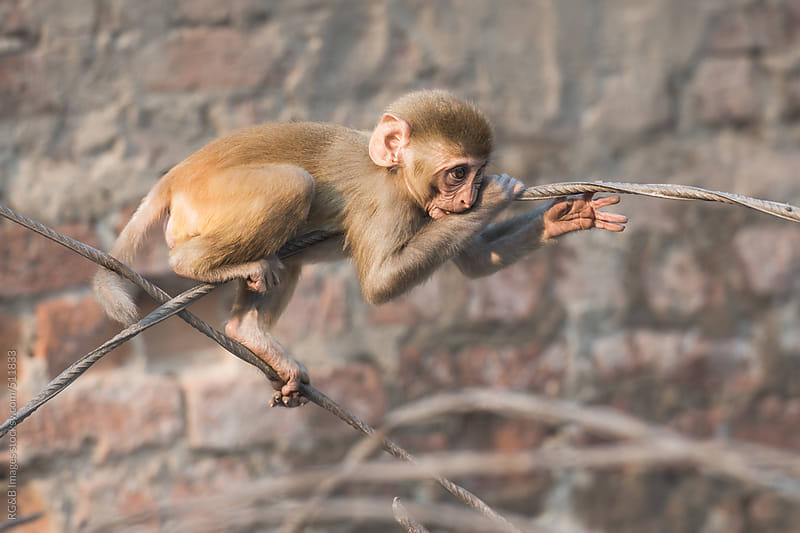 baby macaque  by RG&B Images for Stocksy United