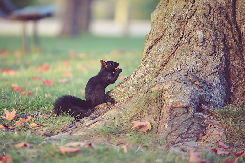 Image of a black squirrel sitting on the base of a tree eating a nut by anya brewley schultheiss for Stocksy United