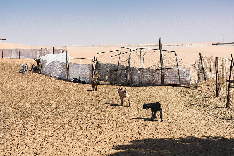 goat farm in the Desert,  United Arab Emirates by Mauro Grigollo for Stocksy United