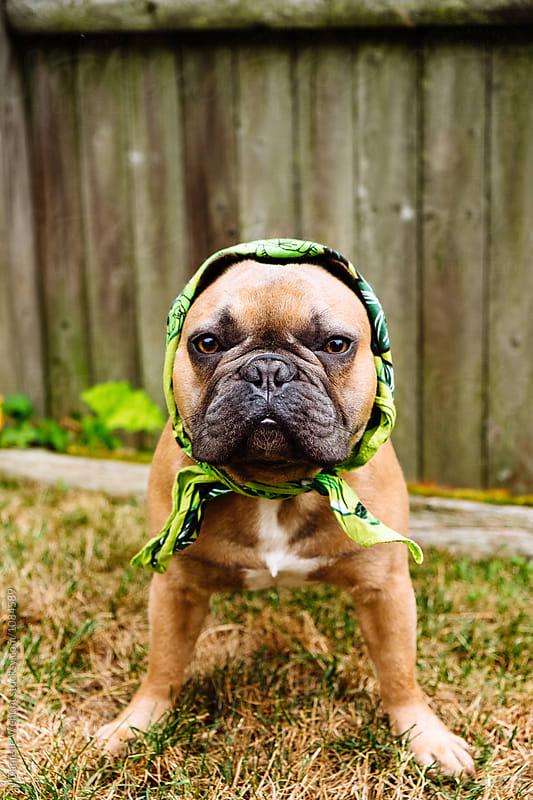 A french bulldog puppy dressed as a babushka in scarf by J Danielle Wehunt for Stocksy United
