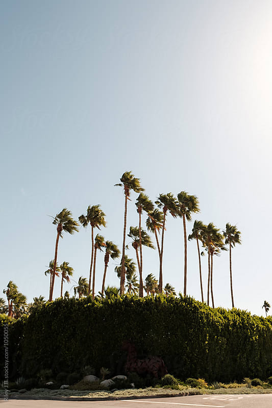 A dozen palm trees behind a hedge on a street corner by Riley Joseph for Stocksy United