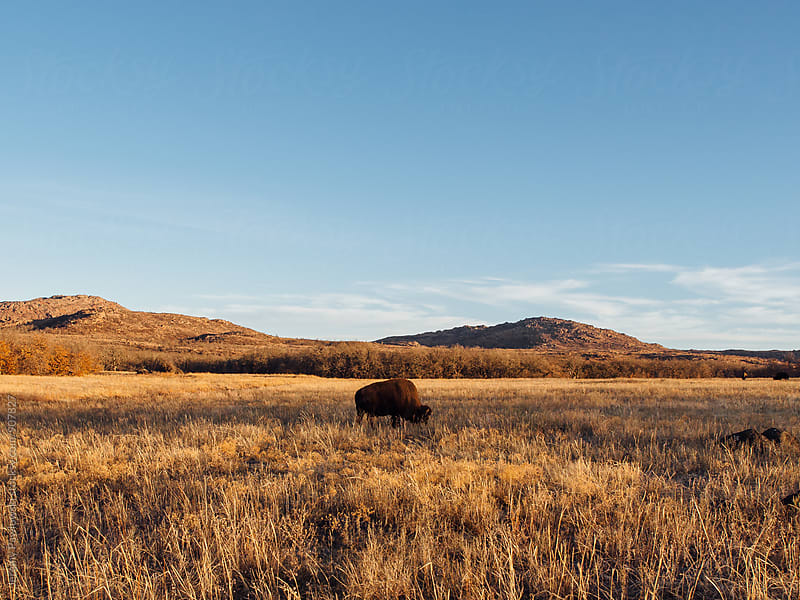 Bison (buffalo) grazing in field with mountains in background by Jeremy Pawlowski for Stocksy United