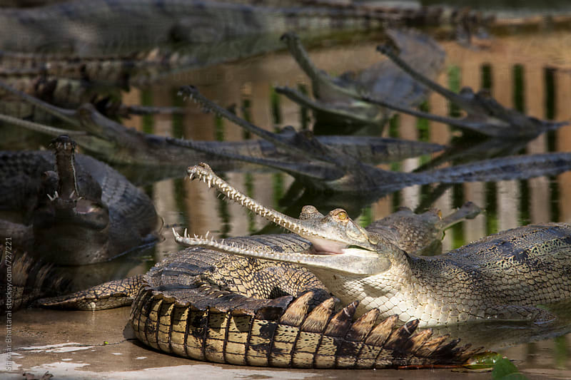 Adult Gharials inside a breeding farm in Chitwan National Park. by Shikhar Bhattarai for Stocksy United
