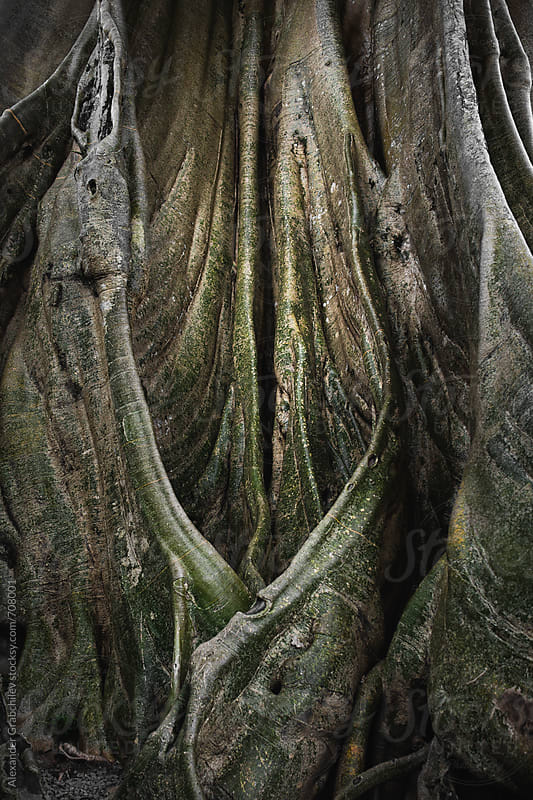 Giant Fig Tree In Tropical Rainforest by Alexander Grabchilev for Stocksy United