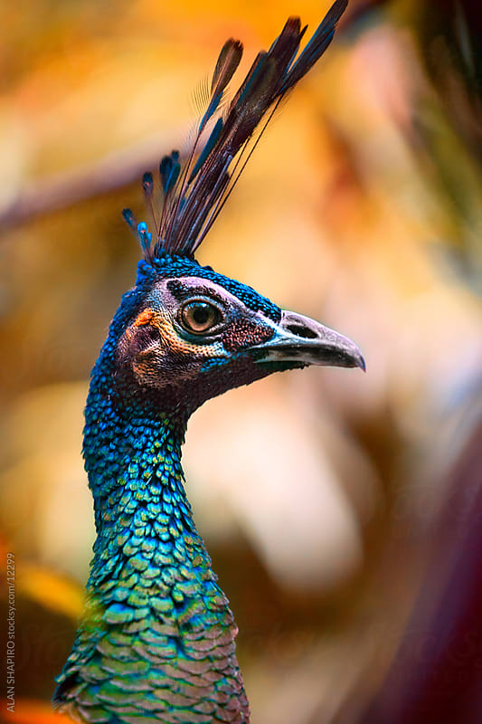 peacock by ALAN SHAPIRO for Stocksy United