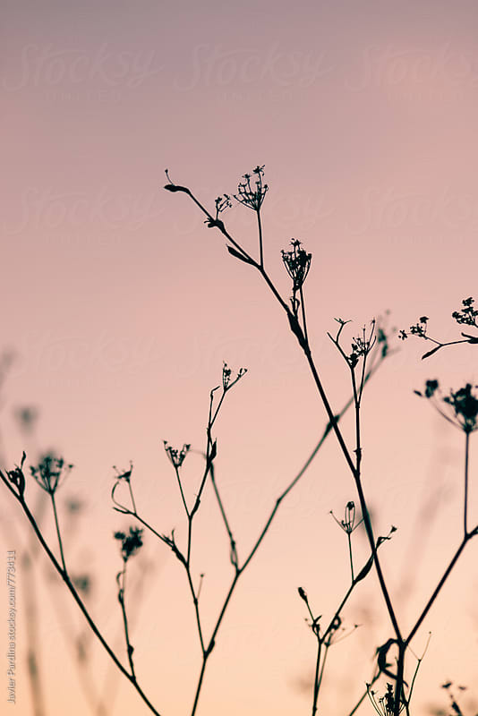 details of dry plants at sunset by Javier Pardina for Stocksy United