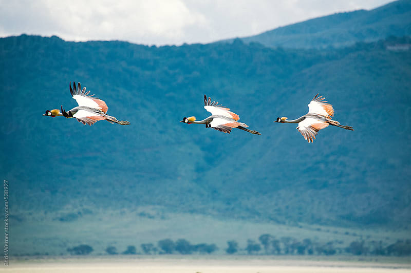 Three Crowned Cranes by Chris Werner for Stocksy United