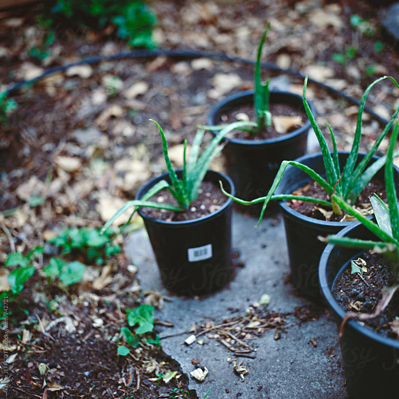 growing aloe vera in plastic pots in a backyard by Natalie JEFFCOTT for Stocksy United