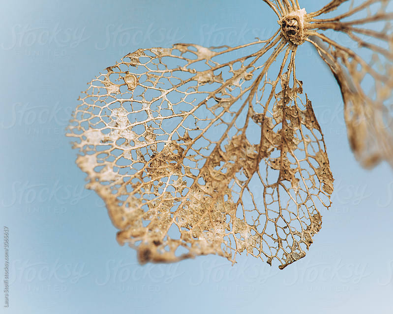Macro of dry hydrangea petal  by Laura Stolfi for Stocksy United