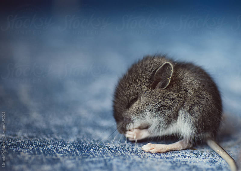 Baby mouse by Melanie DeFazio for Stocksy United