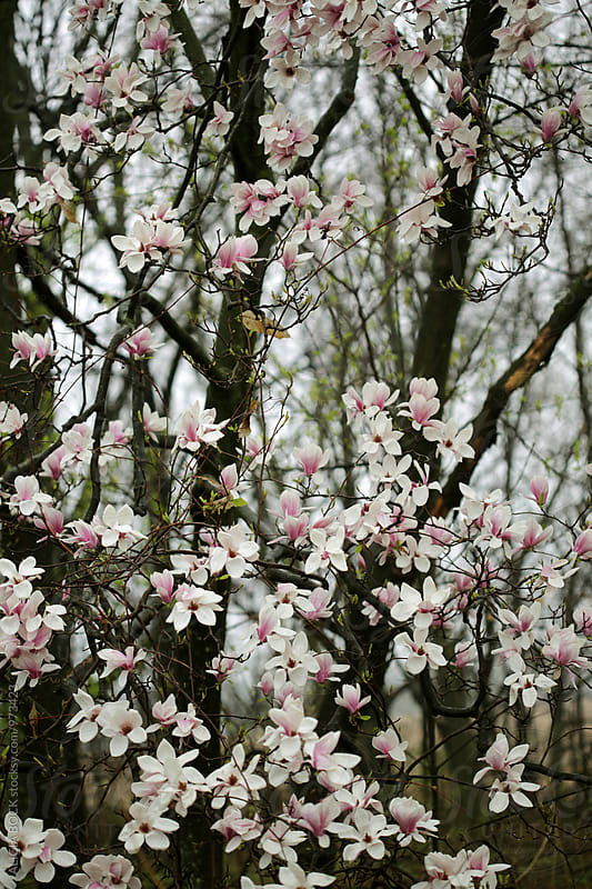 A Large Blooming Magnolia Tree On A Cloudy Spring Morning by ALICIA BOCK for Stocksy United