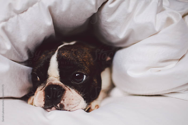 Boston Terrier under a duvet on a bed with just her face showing. by Sarah Lalone for Stocksy United