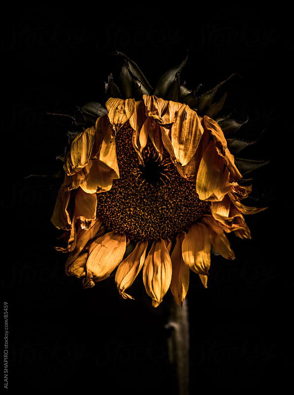 Wilting sunflowers by alan shapiro for Stocksy United