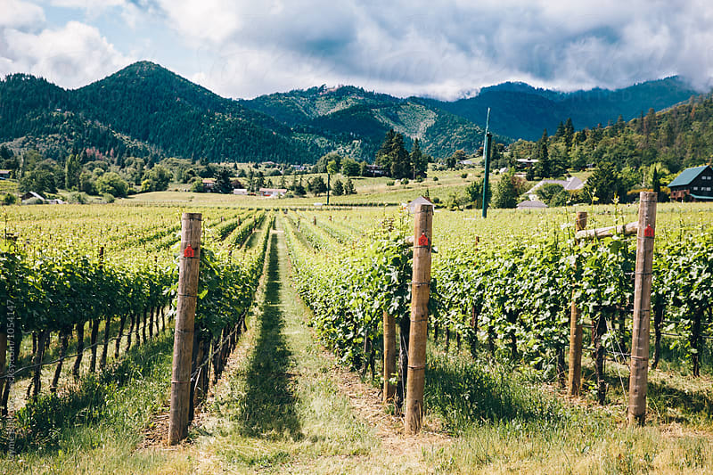 Rows of grapes in Oregon by Jayme Burrows for Stocksy United