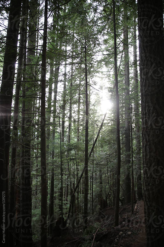 Sunlight Peaking Through Forest Trees by Carey Haider for Stocksy United