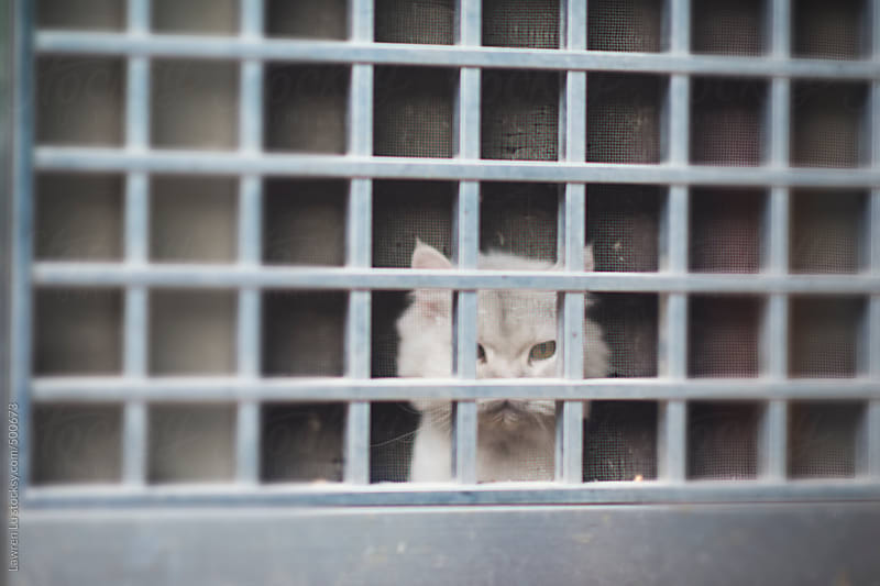 Tame white cat behind grid window and looking out by Lawren Lu for Stocksy United
