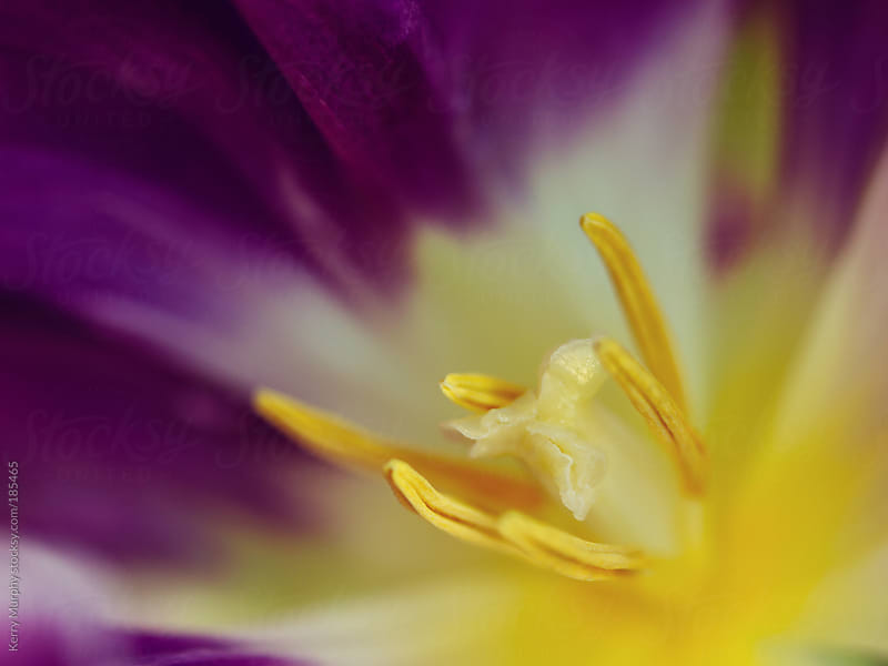 Macro abstract of center of purple tulip flower by Kerry Murphy for Stocksy United