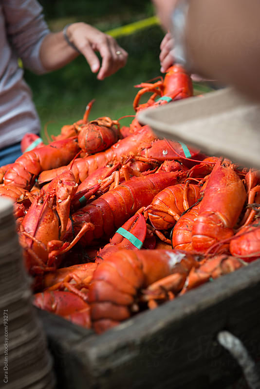 Cooked lobsters at a traditional New England lobster bake by Cara Dolan for Stocksy United