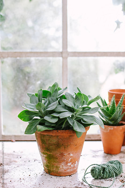 Succulent plant in a glasshouse by Helen Rushbrook for Stocksy United